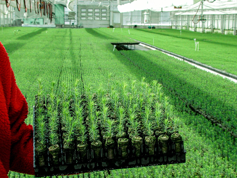 Bilde fra et frivhus med masse nyplantede trær
